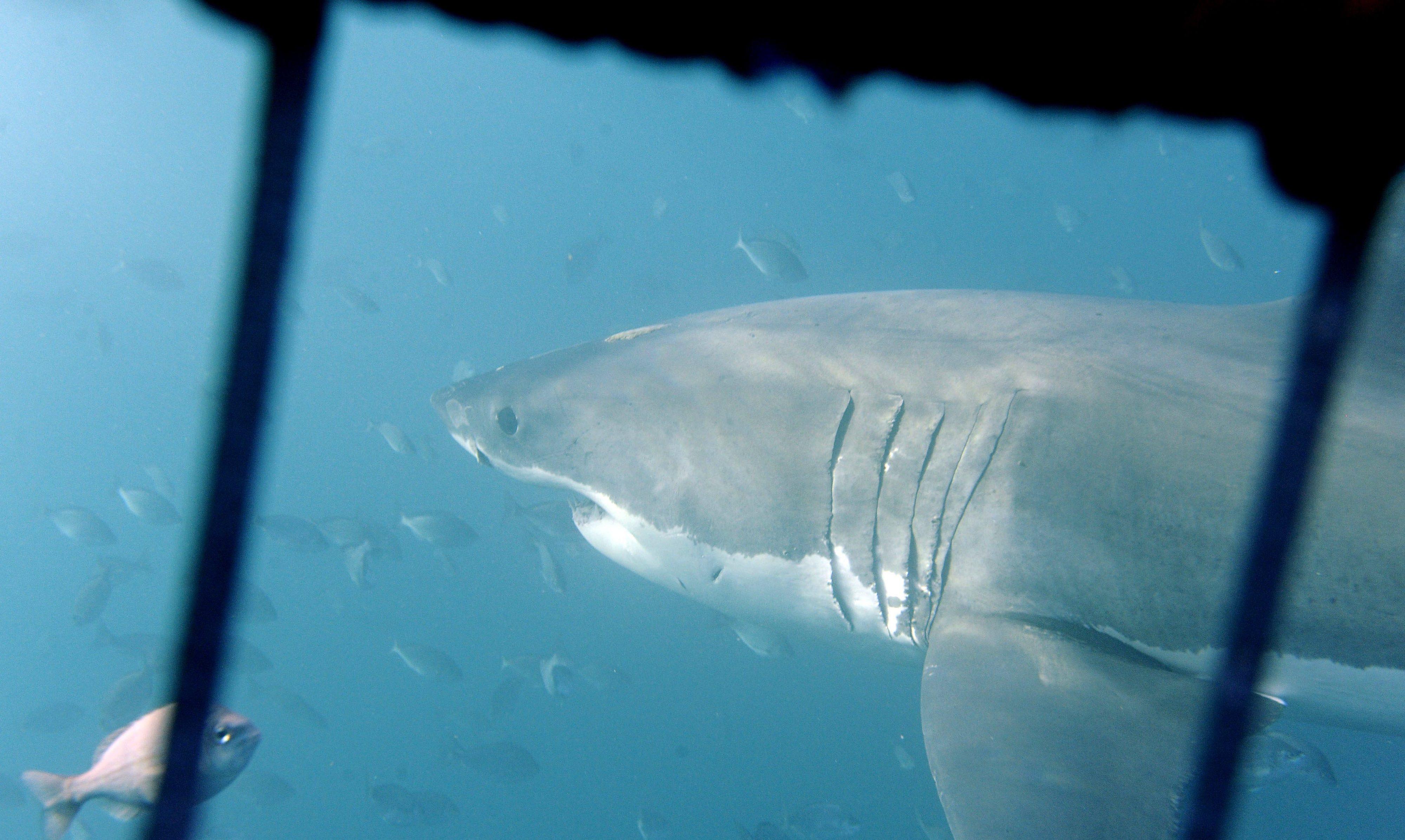 Genoma do tubarão branco revela razões para resistência a doenças e longevidade