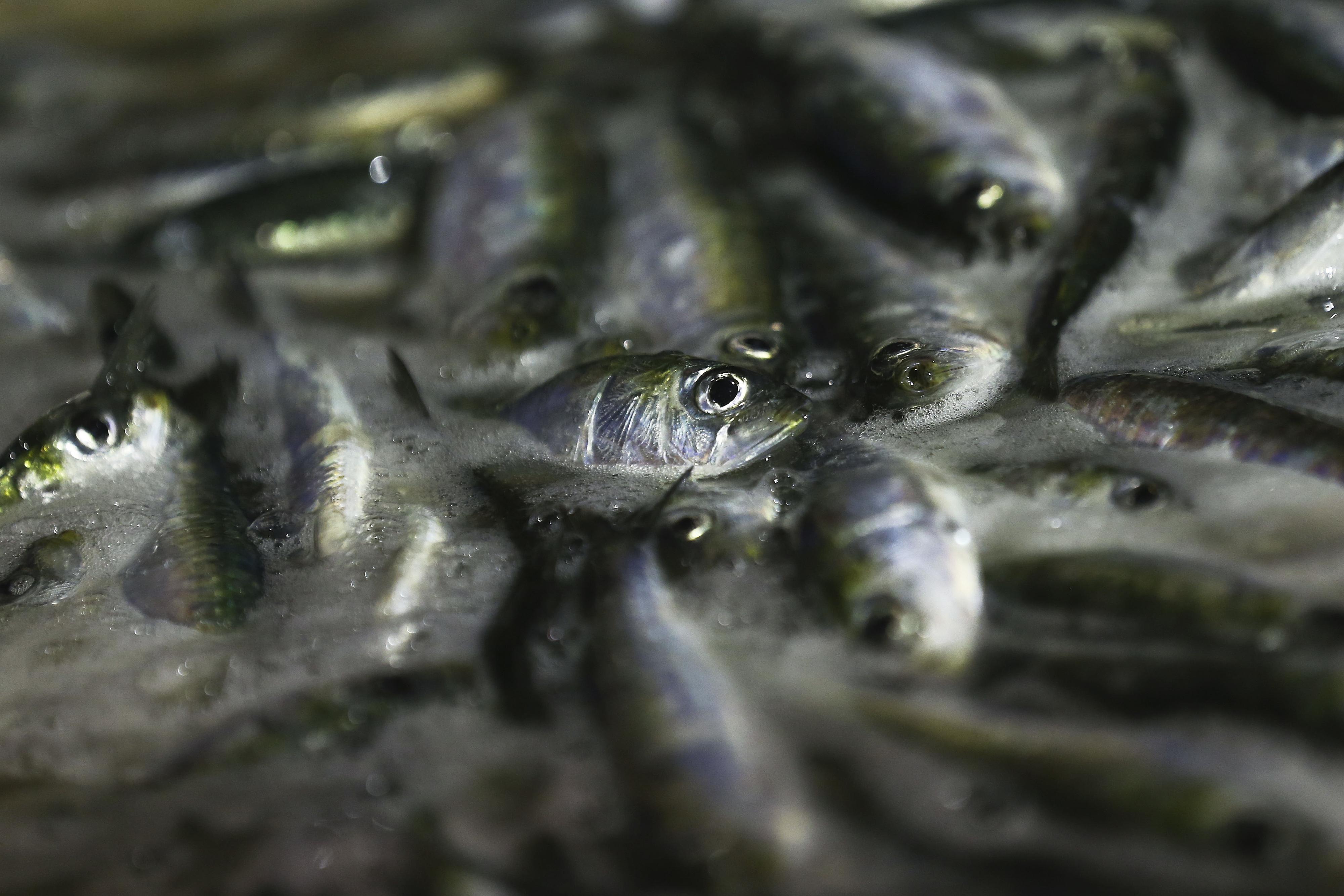 Medidas para recuperação do 'stock' de sardinha têm sido insuficientes -- ONGA