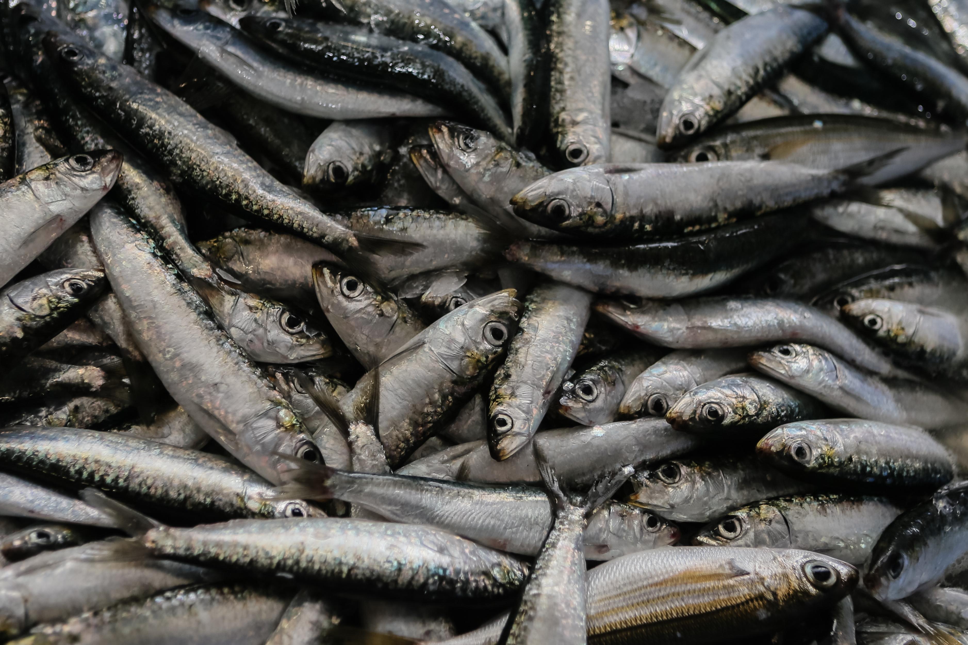 Governo paga este mês 800 mil euros aos pescadores por suspensão de captura da sardinha
