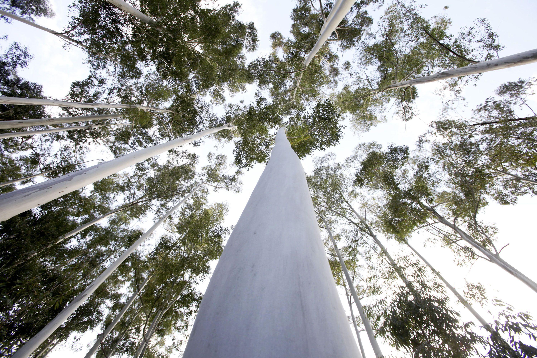 Governo limita expansão de eucalipto e só permite transferências de áreas - Capoulas Santos