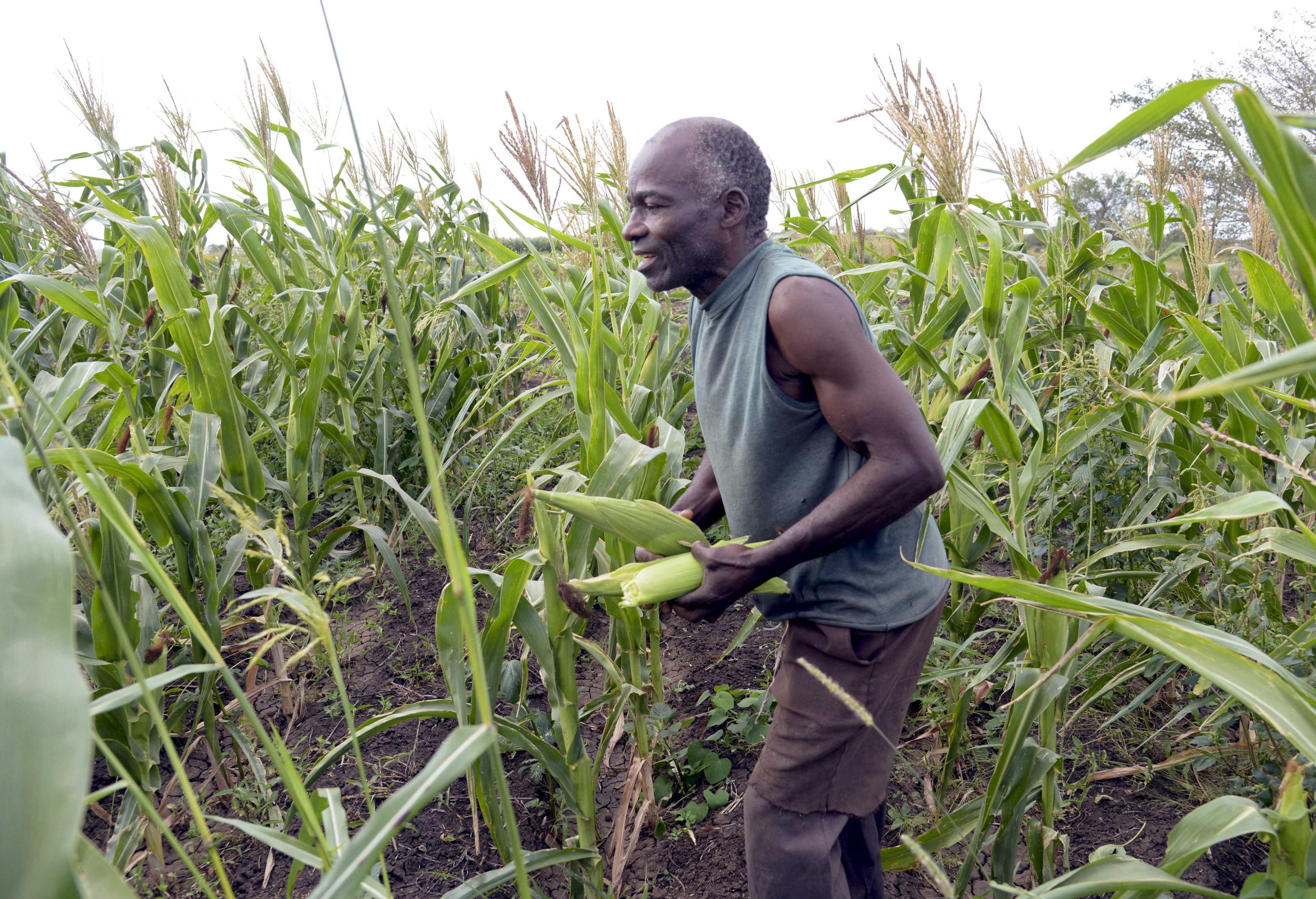 Empresário chinês e grupo angolano investem na produção de milho em Benguela
