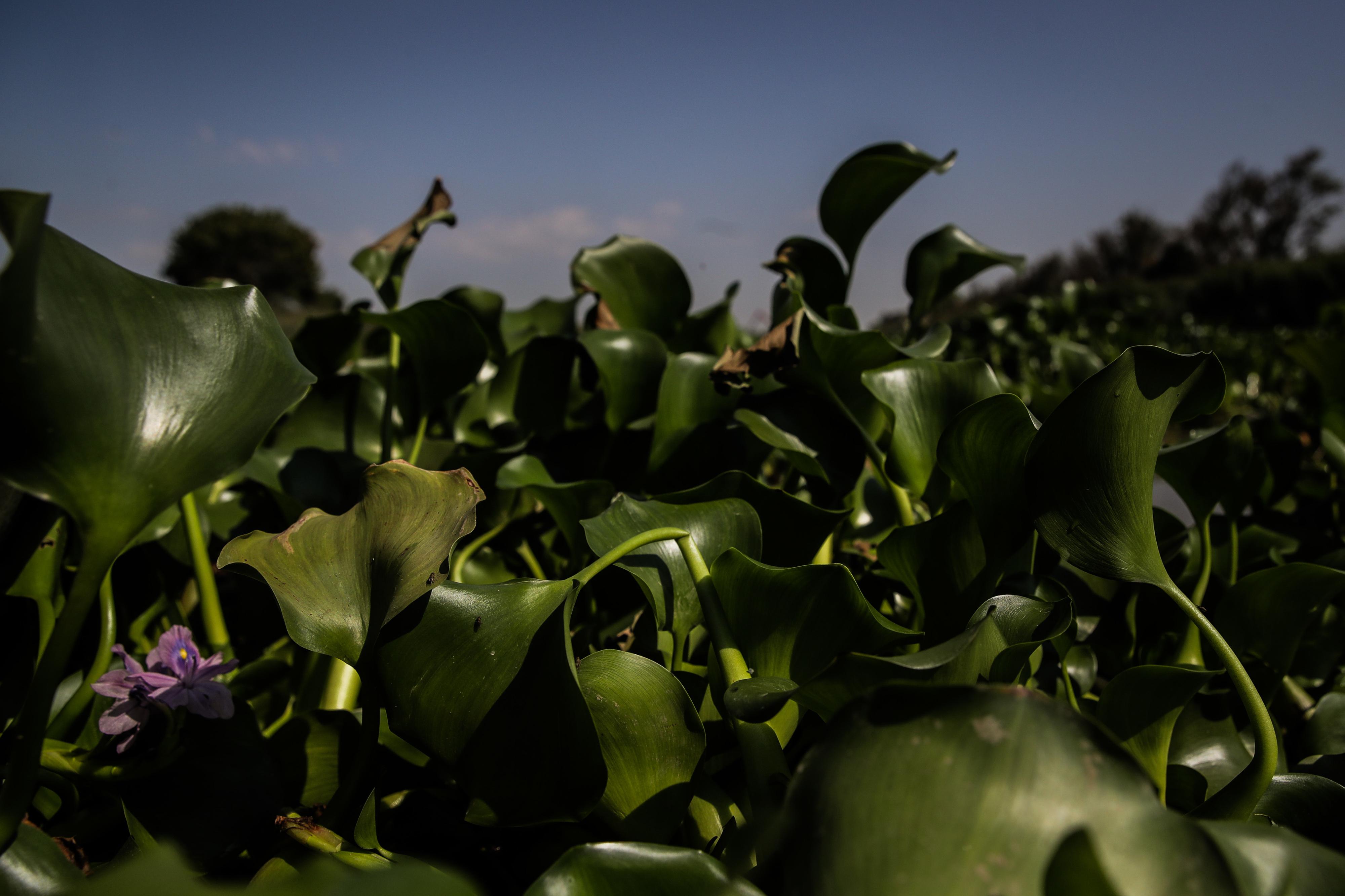 Pescadores do Mondego e da Figueira da Foz exigem erradicação dos jacintos de água