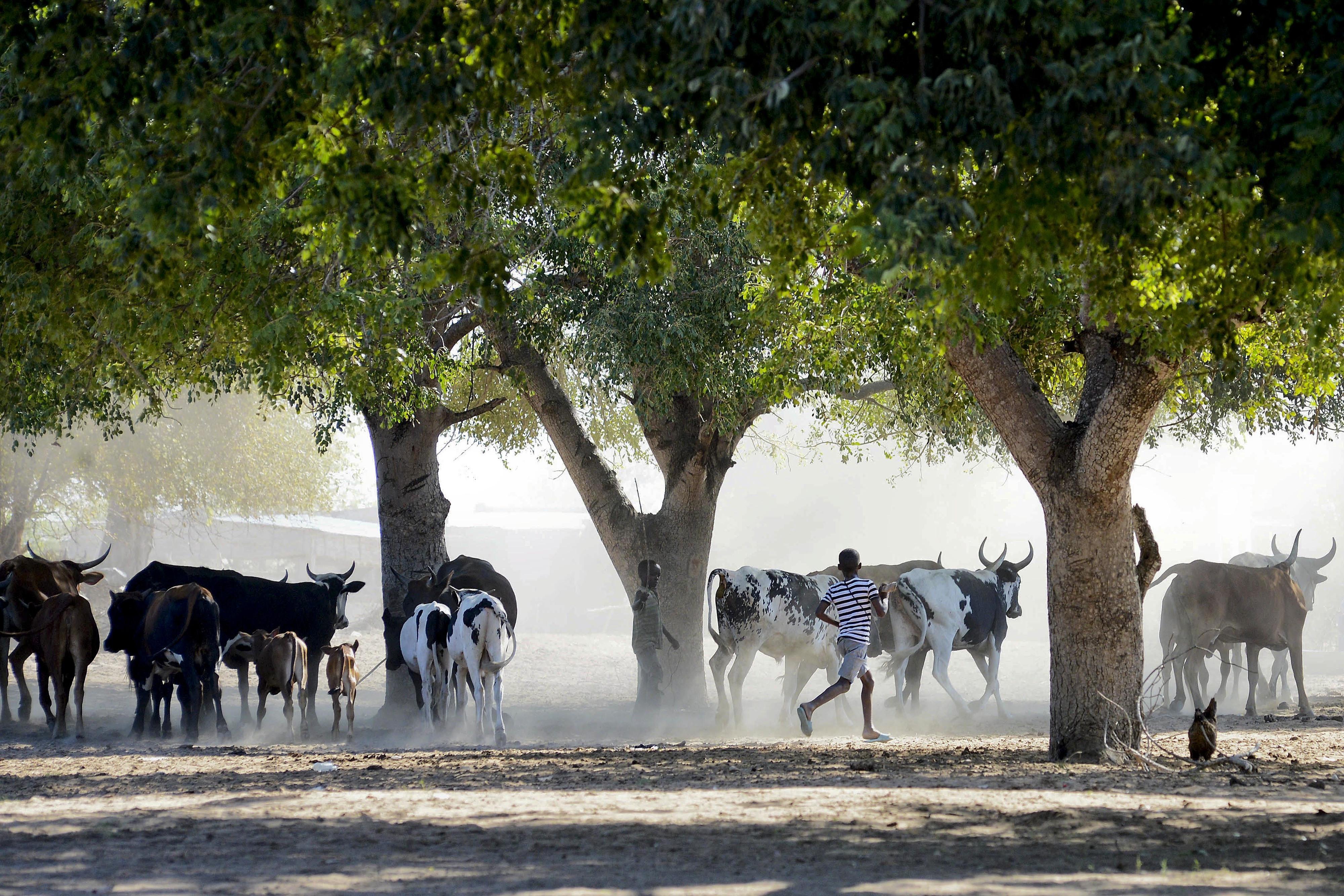 Ministério da Agricultura alerta para propagação da febre aftosa em Moçambique