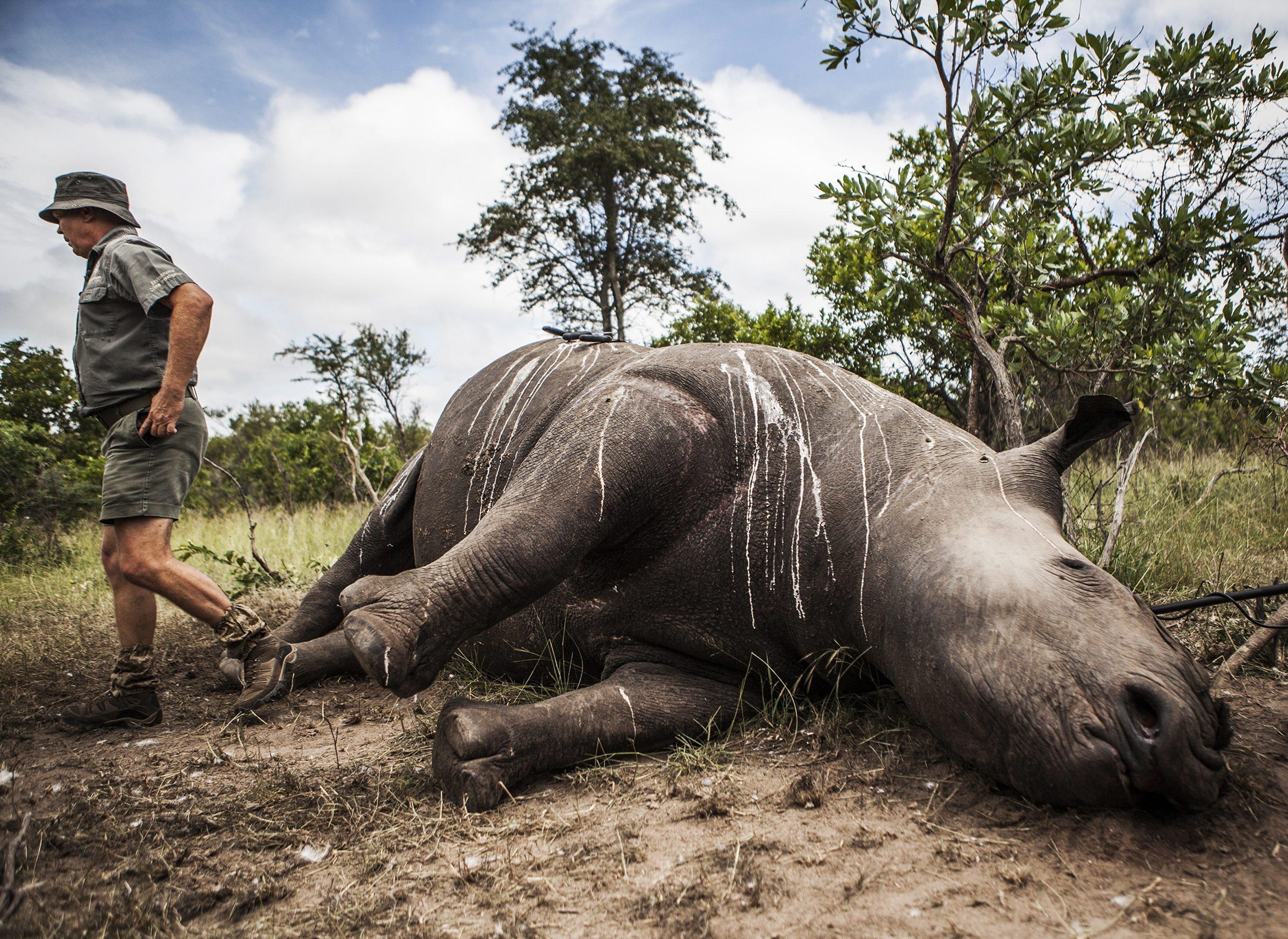 Autoridades turcas apreendem cornos de rinoceronte oriundos de Moçambique orçados em 1,9 ME de euros