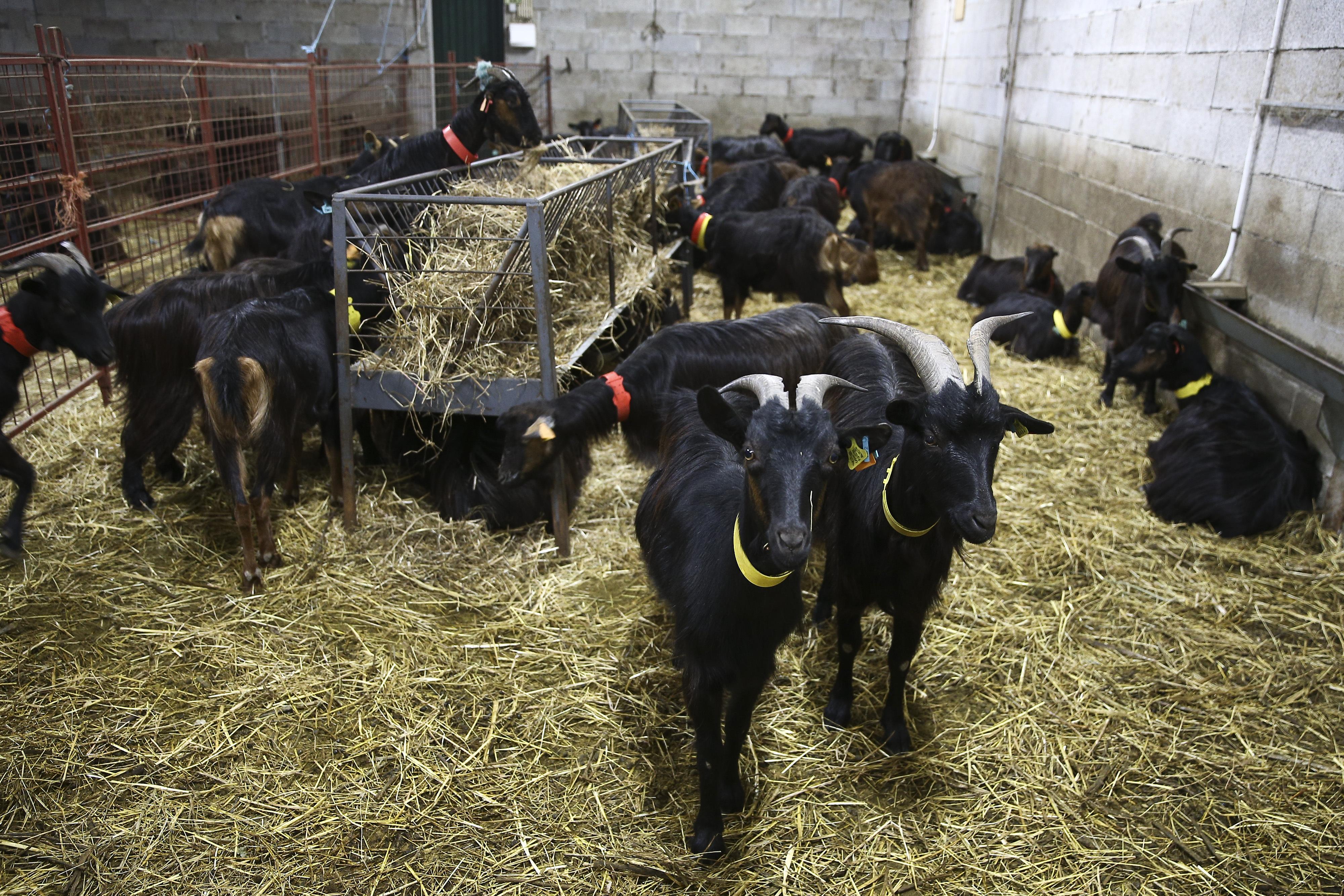 Rebanhos na Serra da Lousã são mais para cabrito e queijo e menos para chanfana