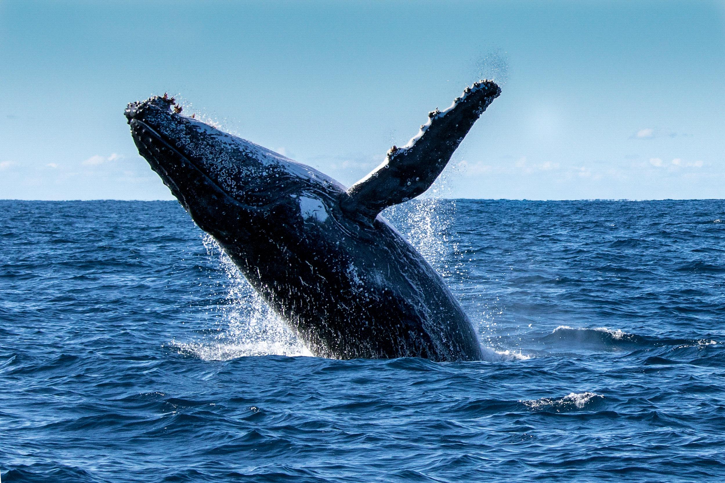 Aproximou-se demasiado de uma baleia-de-bossa. Agora foi condenado a pagar 1.350 €
