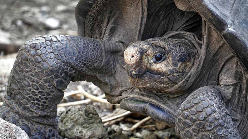 Julgava-se a espécie extinta há mais de 100 anos, mas foi encontrada uma tartaruga gigante nas Galápagos