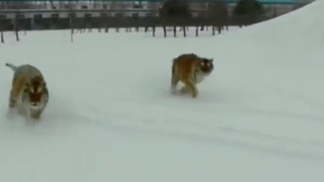 Quando um drone invade o território de um grupo de tigres