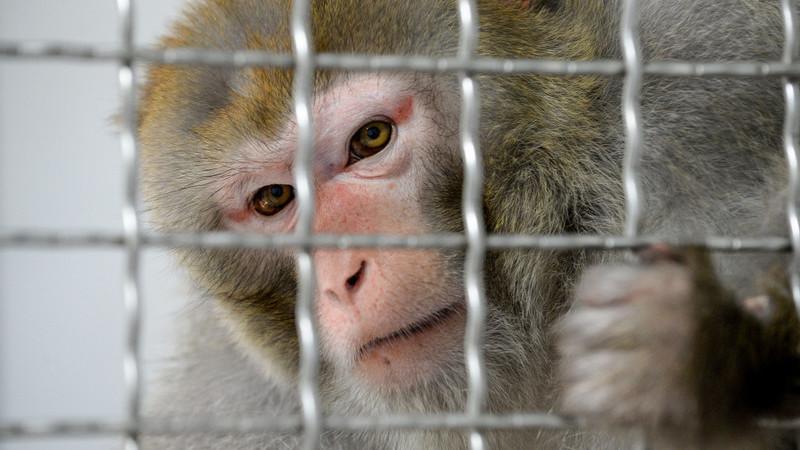 Cientistas inseriram genes humanos nos cérebros de macacos - e tornaram-nos mais inteligentes