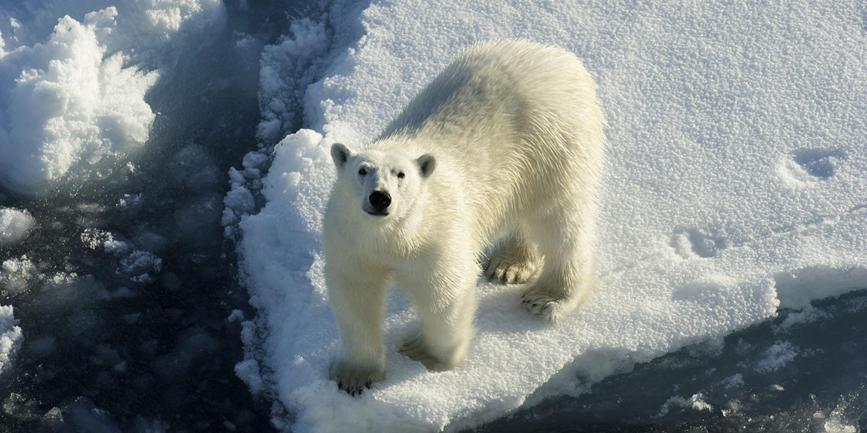 Fim do estado de emergência em arquipélago russo por invasão de ursos polares