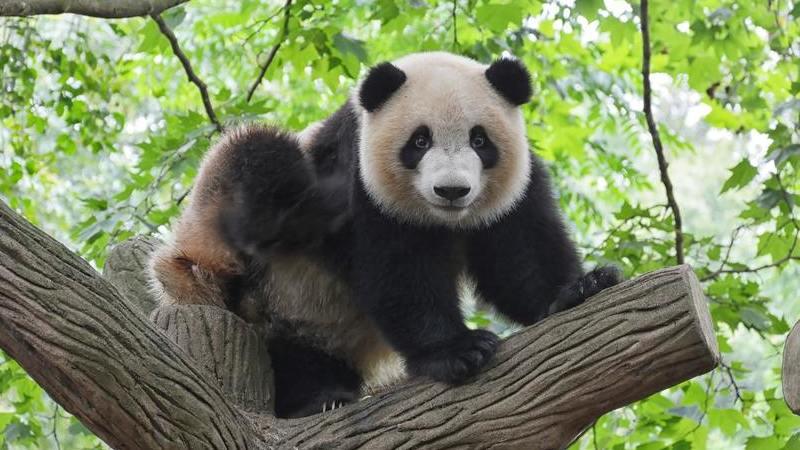 Estas câmaras permitem ver pandas, girafas e outros animais em direto o dia todo