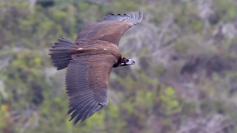 Juvenil de abutre-preto é hoje libertado no Parque Natural do Tejo Internacional