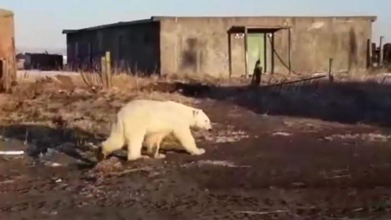 """Urso polar """"perdido"""" à procura de alimento em vila russa, a 700 km de """"casa"""""""