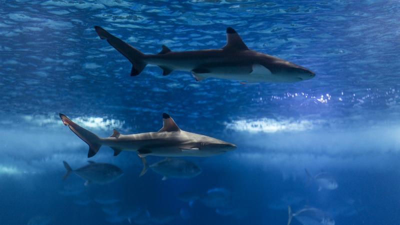 Dois novos tubarões no Oceanário de Lisboa