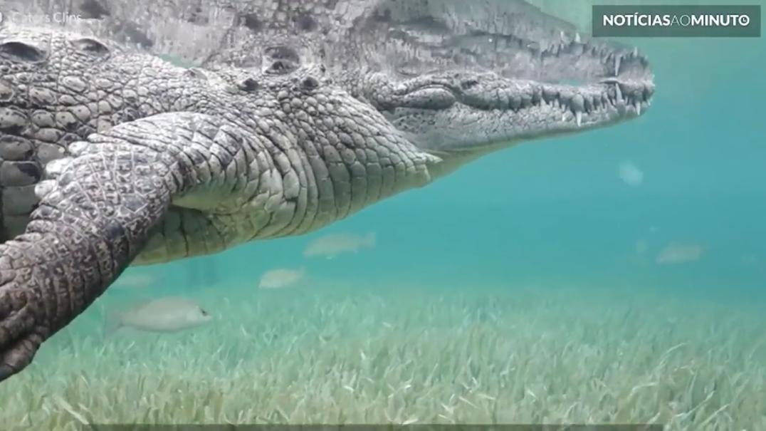 Aventureiro mergulha extremamente perto de crocodilo