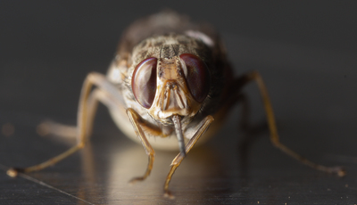 Não se meta com esta mosca: Ela primeiro adormece-o, depois pode matá-lo