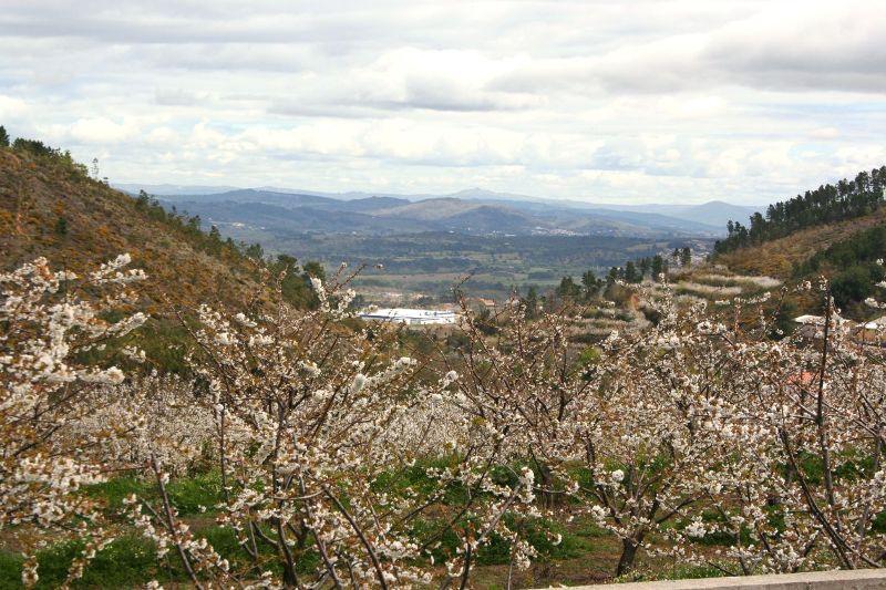 Fundão: Em Alcongosta, passeamos na maior maternidade de cerejas do país