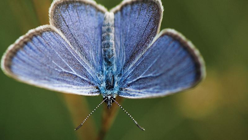 A borboleta da serra do Alvão que parece retirada de uma fábula