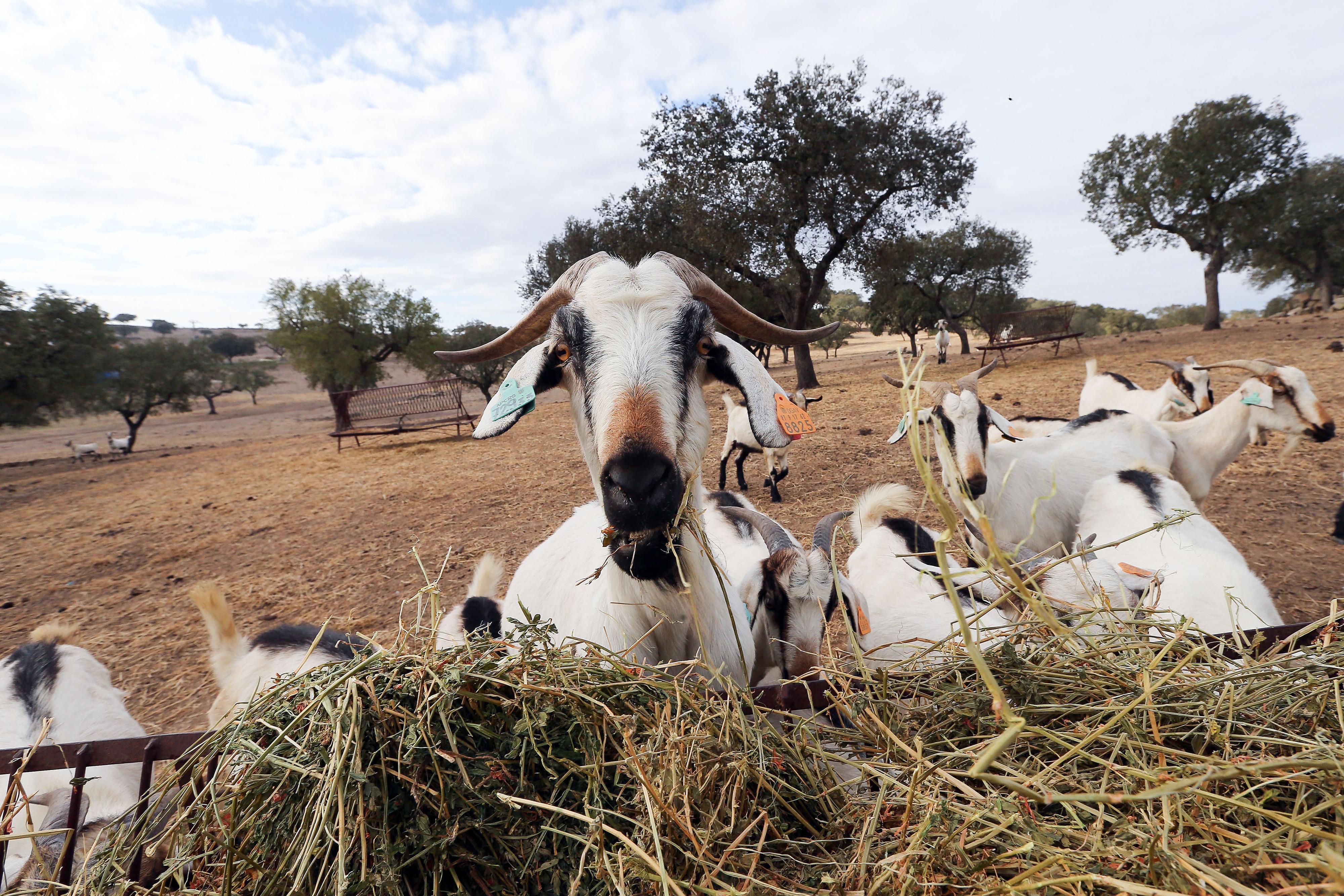 """Incêndios: Governo vai criar """"cabras sapadoras"""" para gestão de combustível florestal"""