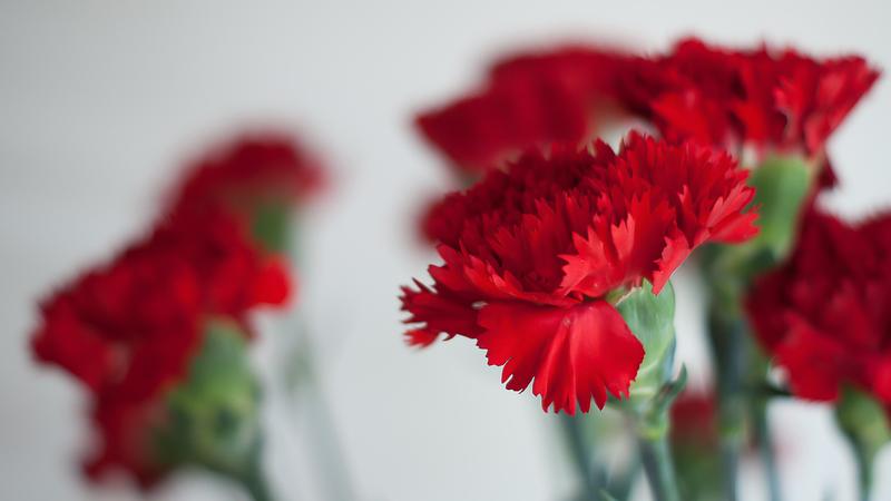 Há 45 anos, uma flor deu nome a uma revolução, atribuindo todo um novo simbolismo aos cravos