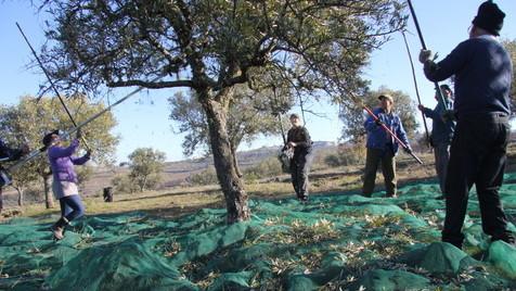 O ritual da apanha da azeitona