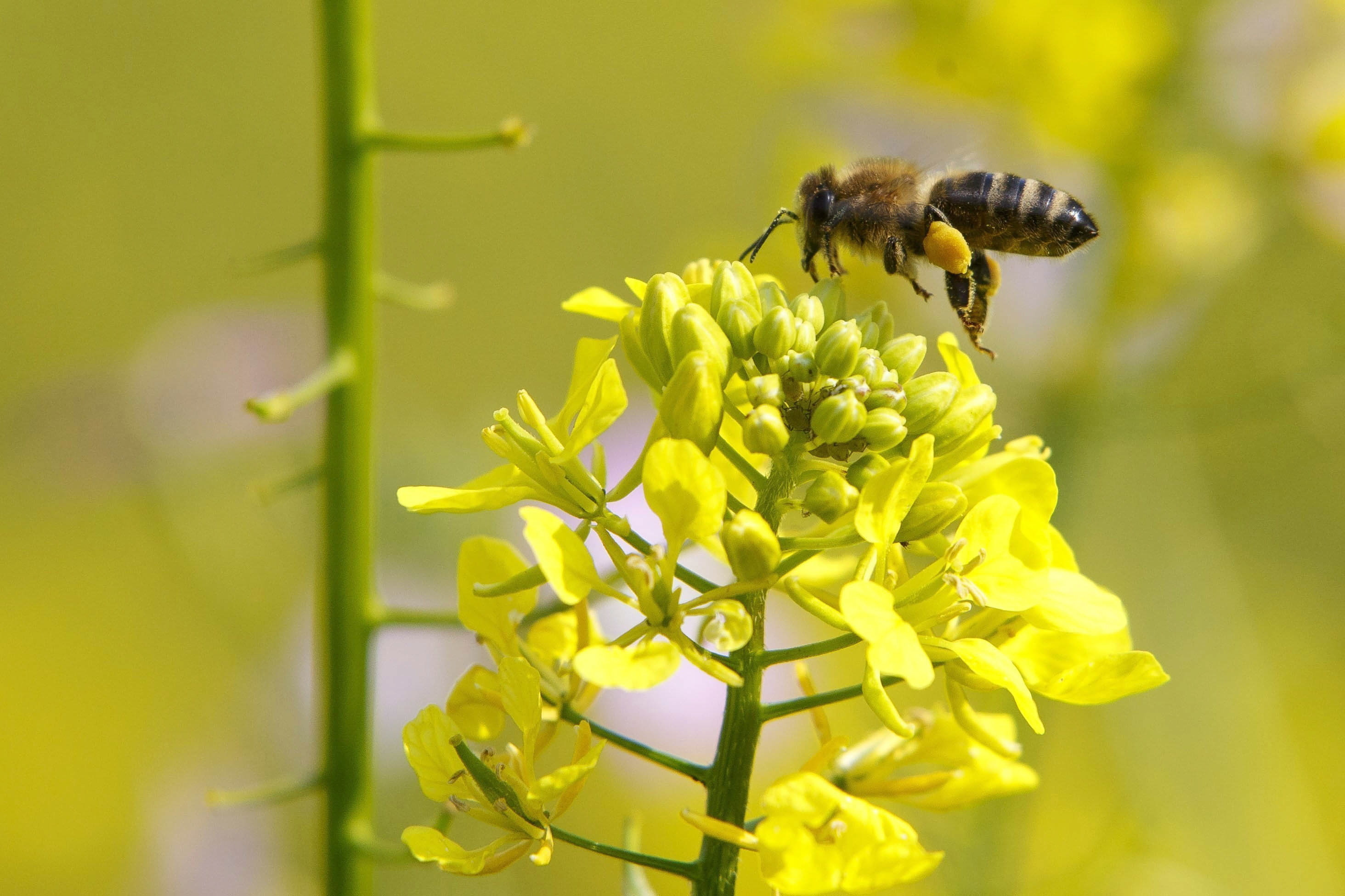 As abelhas estão em perigo de extinção, mas já há uma vacina para o impedir