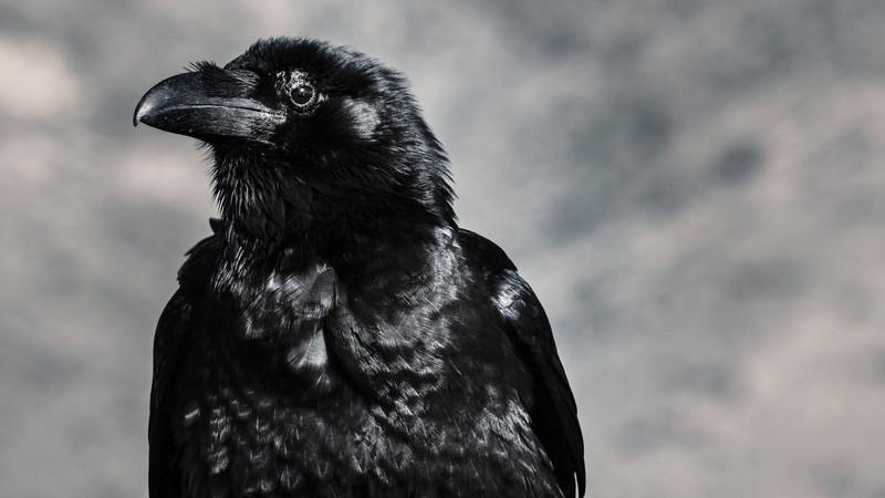 Mau humor pode ser contagiante entre corvos, revela estudo