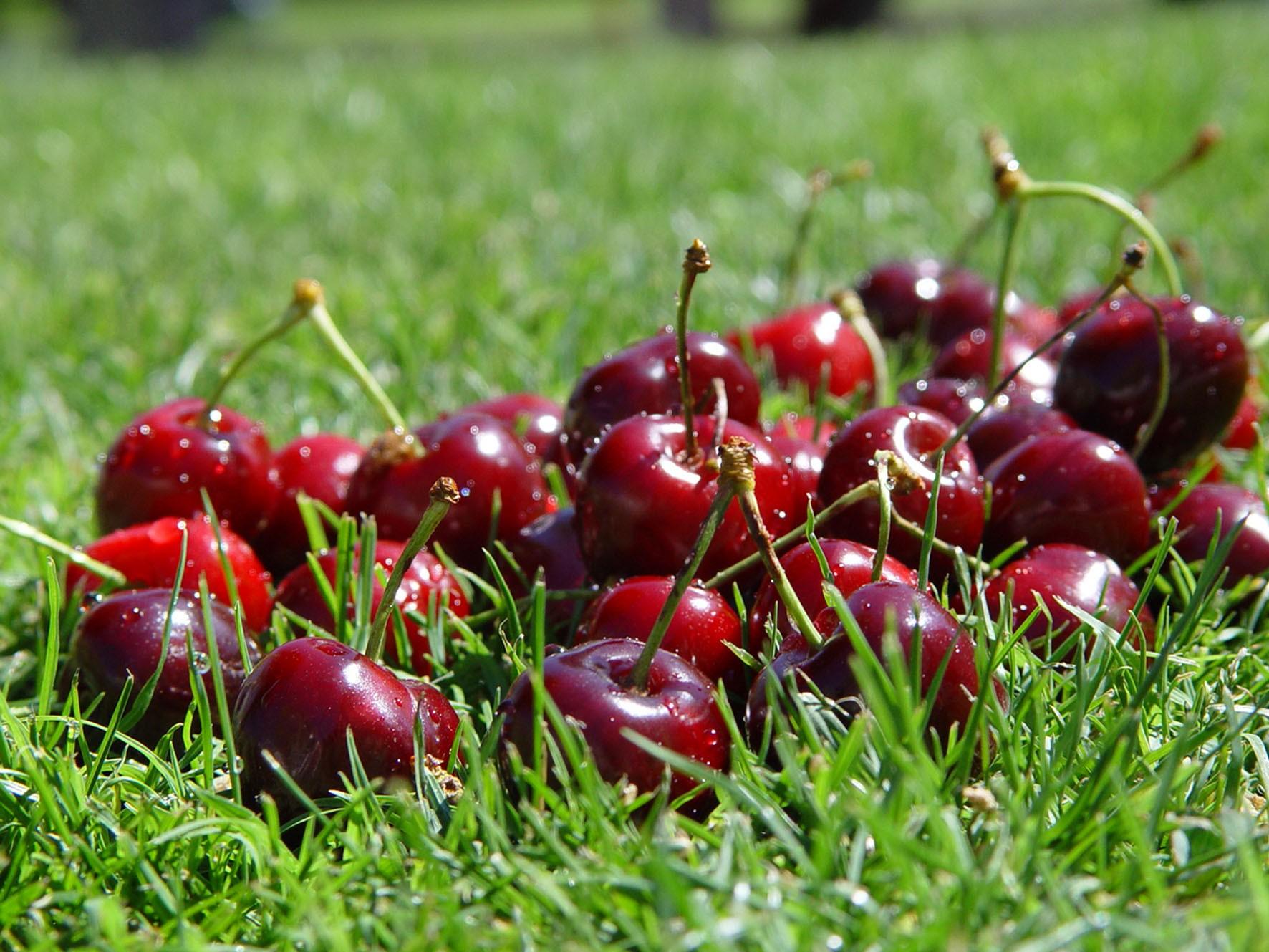 Fundão: Em Alcongosta passeamos na maior maternidade de cerejas do país
