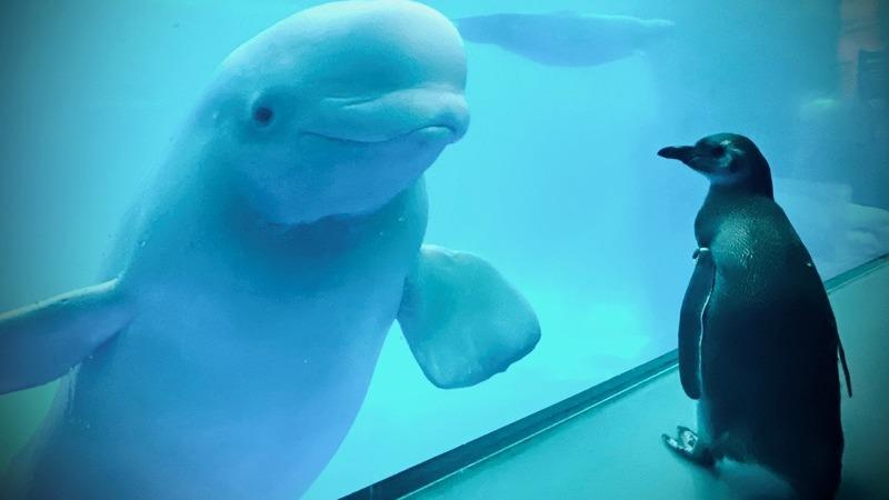 Após o encerramento de aquário, estes pinguins tiveram oportunidade de conhecer as baleias-brancas