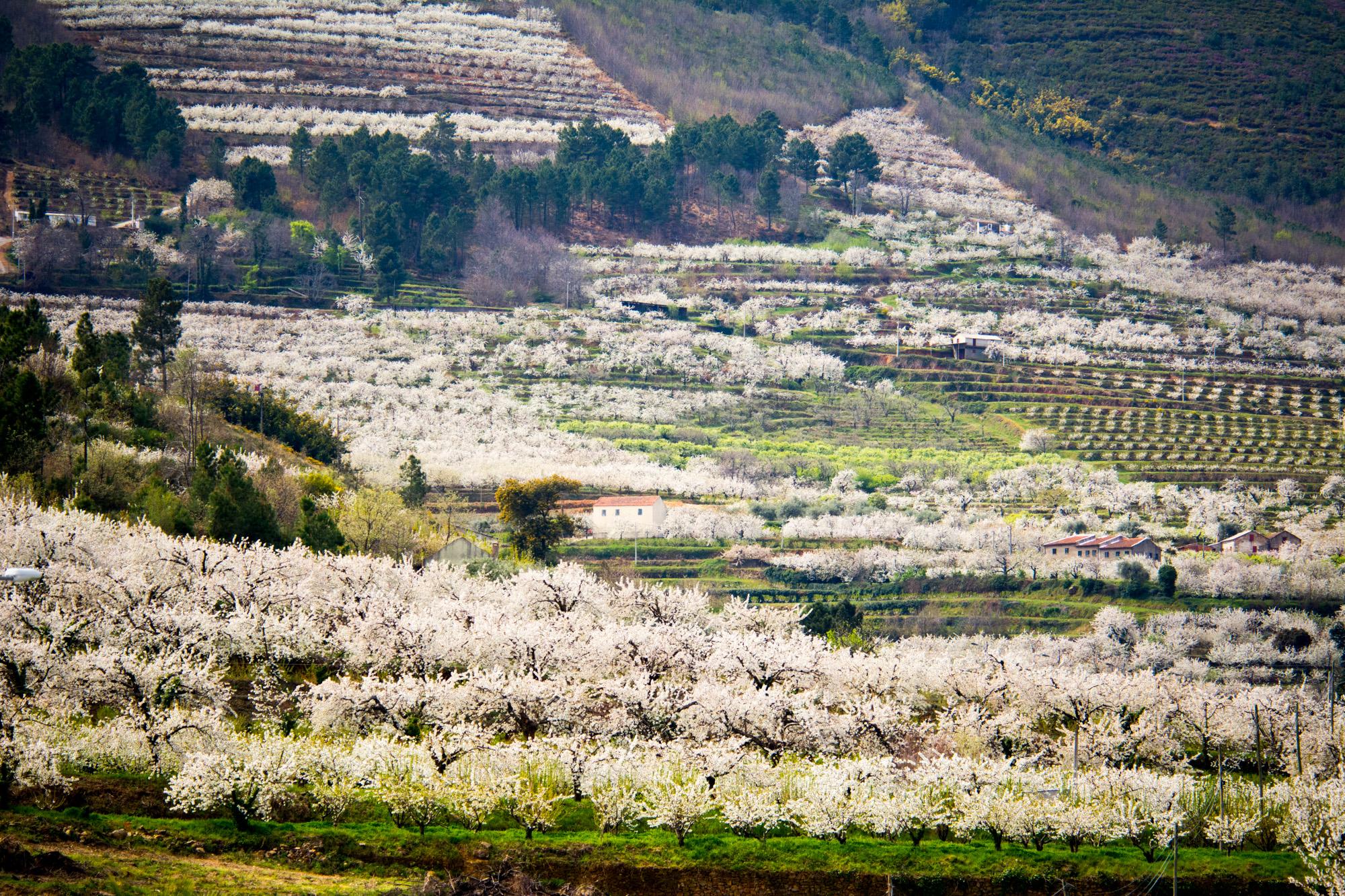 Fundão: Sob as cerejeiras em flor há programas de lazer para toda a família