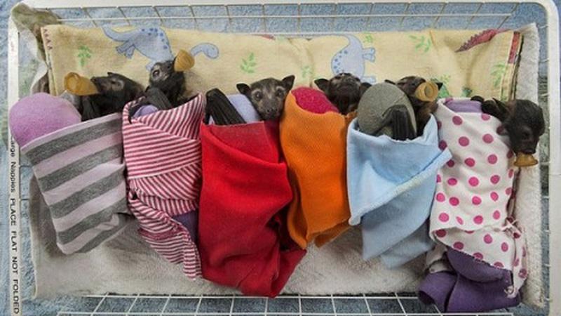 Aqui os morcegos bebés são tratados como pequenos reis