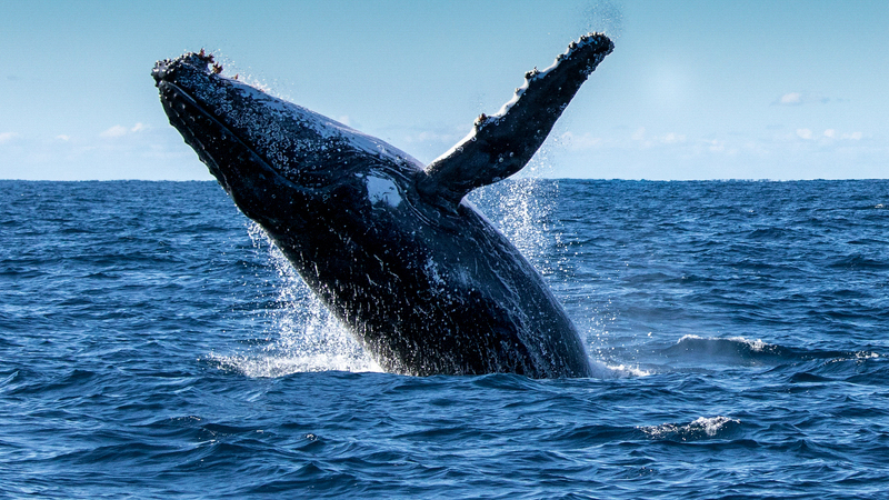 Aproximou-se demasiado de uma baleia-de-bossa e foi condenado a pagar 1.350 €