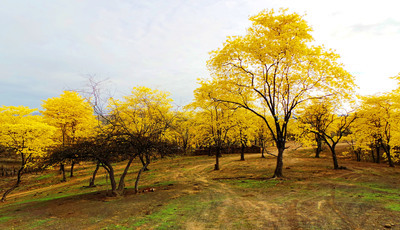 A floresta que se pinta de amarelo apenas alguns dias por ano