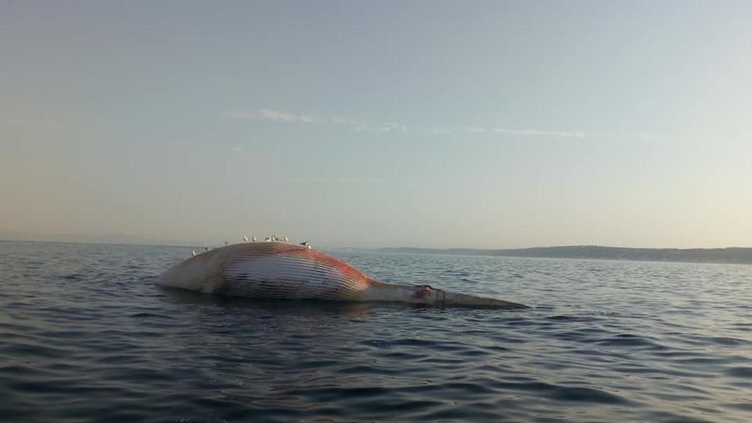 Baleia morta de grandes dimensões à deriva na Costa de Caparica