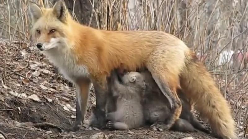 """Deputada do PAN partilha vídeo de """"raposa a amamentar coalas órfãos""""… que afinal são crias de raposa"""