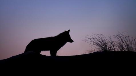 Lobos ao Crepúsculo