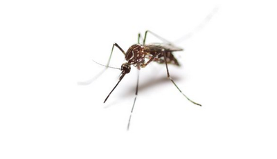 Será o mosquito o animal mais mortífero do mundo?