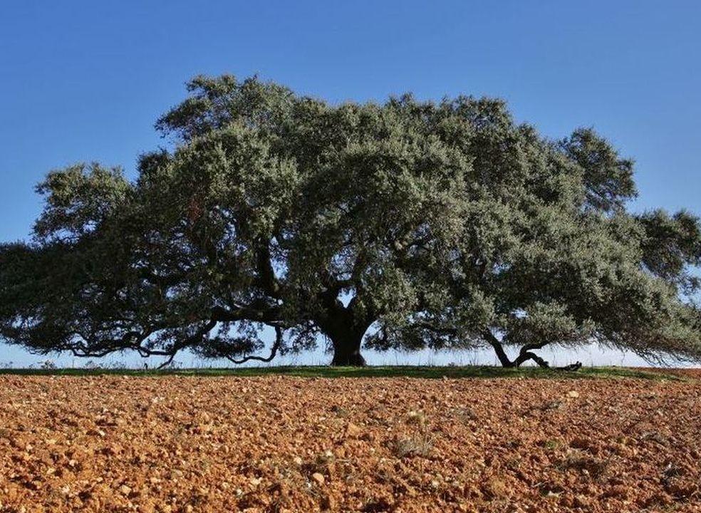 Azinheira secular do Monte do Barbeiro vence árvore do ano em Portugal