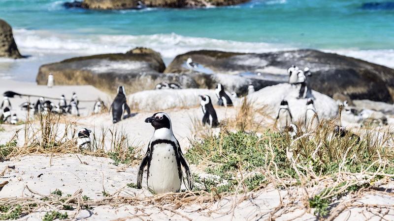 Pinguins em África? Vai ficar encantado com a colónia de pinguins de Boulders Beach