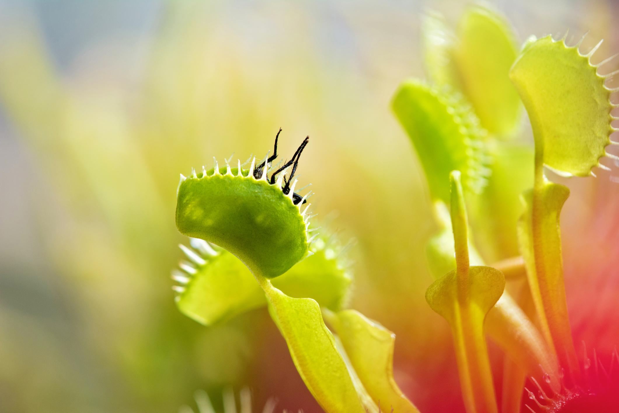 Dionaea muscipula. Como cultivar esta planta carnívora com sucesso