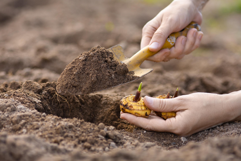 Plante os seus bolbos de inverno em vasos ou em canteiros. Os passos essenciais