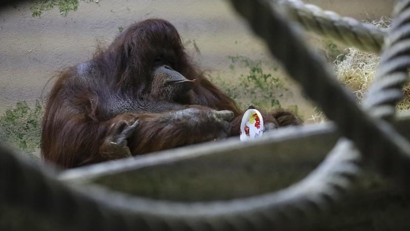 Nénette, a orangotango 'pintora', faz 50 anos no zoo de Paris