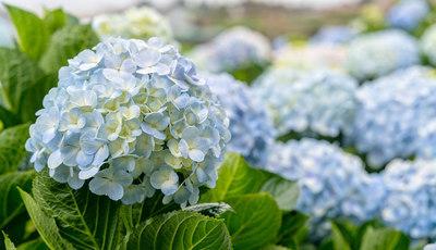 Como plantar e cuidar de hortênsias