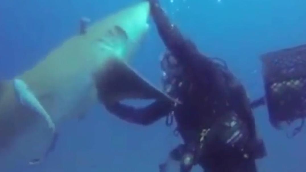 Mergulhador salva tubarão