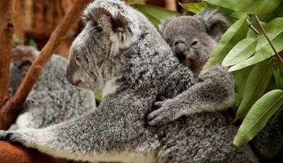 Novo Koala no Dia do Pai