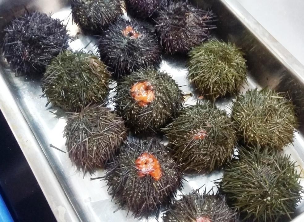 """Ouriço-do-Mar, este tão nosso quase desconhecido """"caviar"""" do litoral português"""