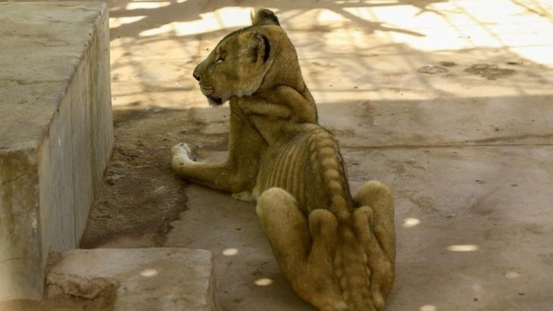 Imagens de leões subnutridos geram onda de solidariedade