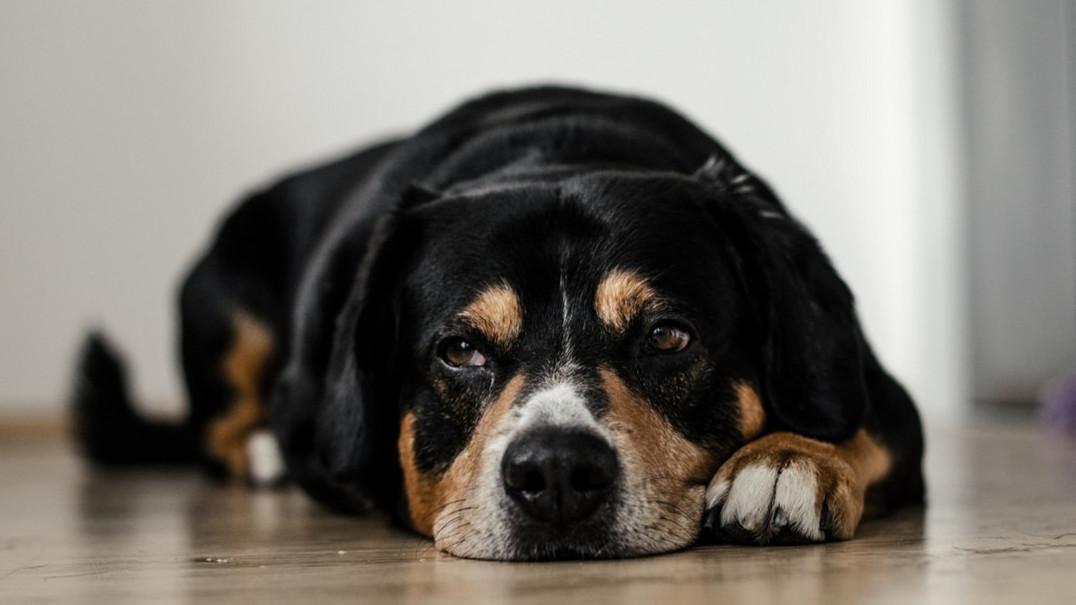 12 sinais de que o seu animal de estimação está deprimido