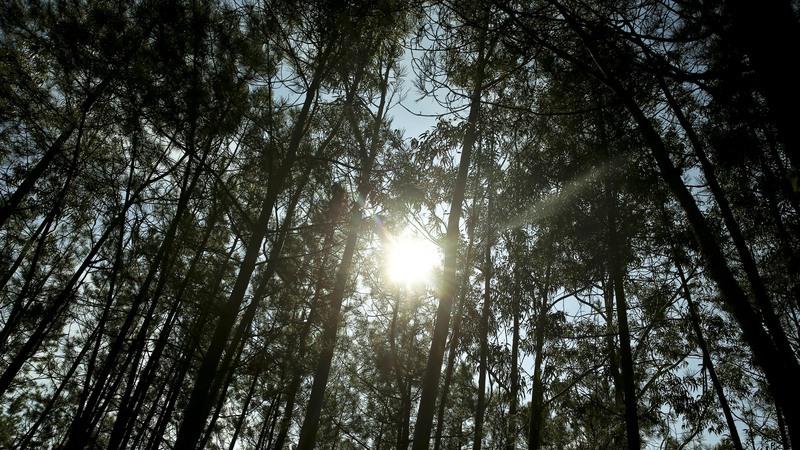 Quercus quer leis para diminuir aérea de eucaliptos