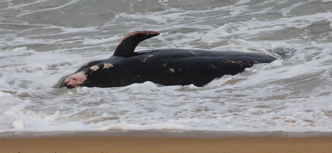 Baleia encalhou e morreu em praia no Algarve. Autoridades estudam como remover o corpo
